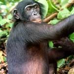 Yo quiero ser un Bonobo. El kamasutra del Social Media. #RI2012